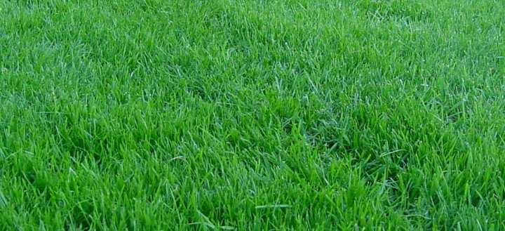 газон с мятликом