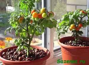 кустики помидоров на подоконнике