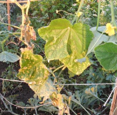 огурцы с пожелтевшими листьями