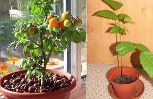 выращивание на подоконнике овощй фото
