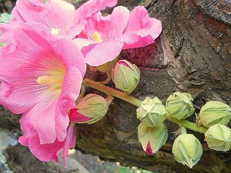 цветок розовой мальвы