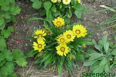 гацания цветет в саду