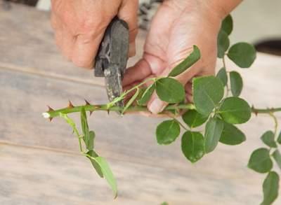 нарезание черенков роз фото