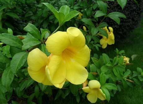 алламанда цветет