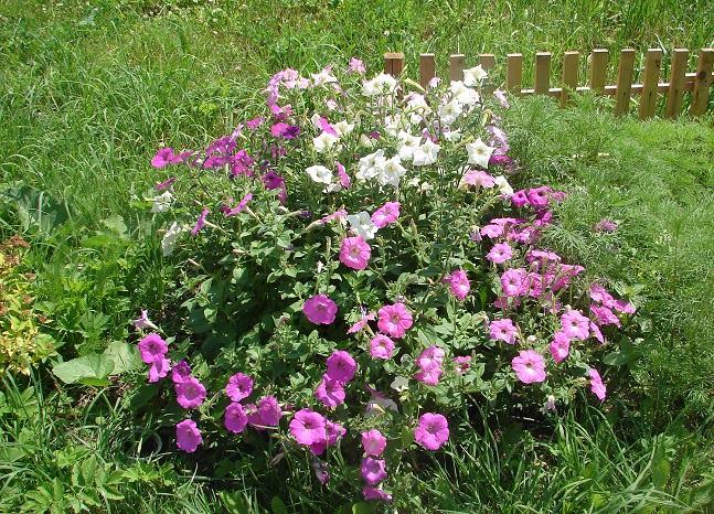 фото цветущих петуний