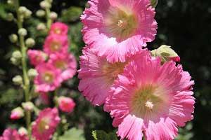 фото розовой мальвы
