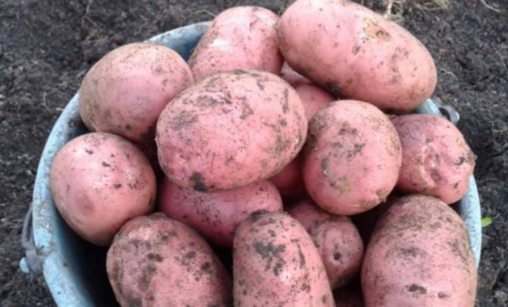 картофель Малиновка