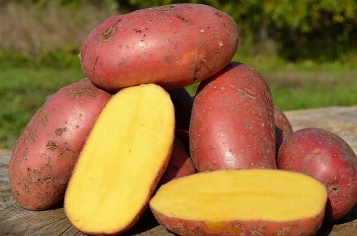 среднепоздний картофель Астерикс