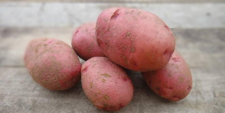 картофель Зарница - поздний