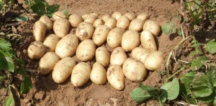Сорт картофеля Чародей