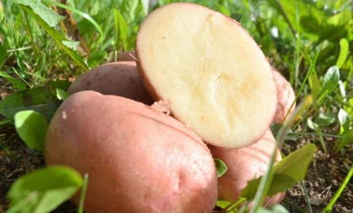 сорт картофеля Виза