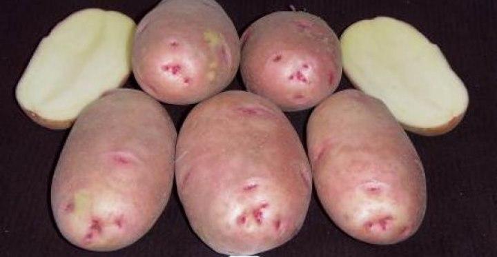 сорт картофеля Загадка Питера