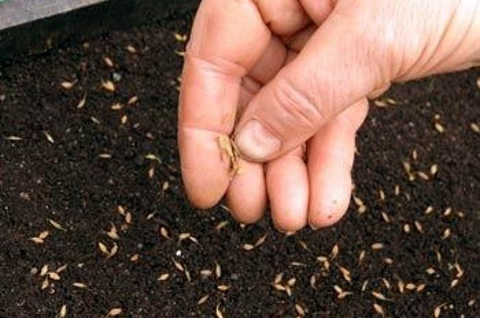 Посев семян энотеры