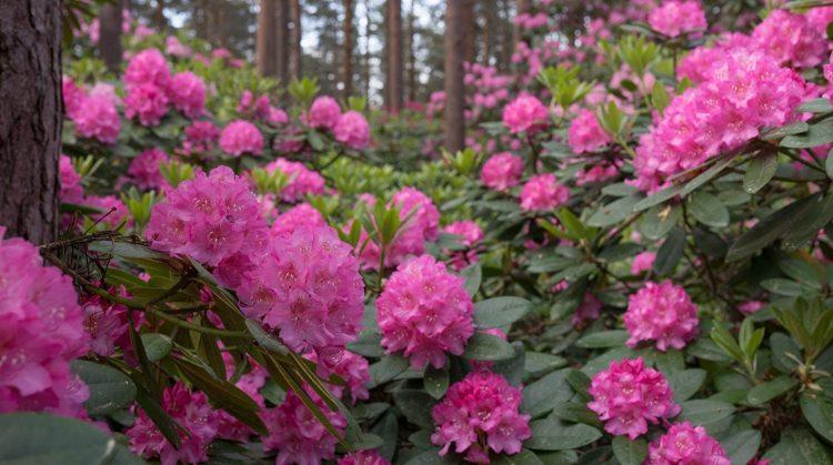 Рододендрон цветет
