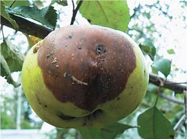 Яблоки гниют прямо на дереве