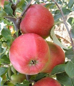 яблоня колоновидная Лигол