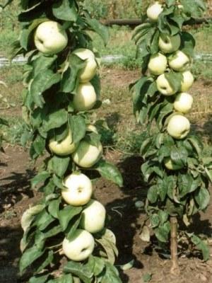 Яблоня колоновидная Икша