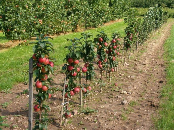 коллективная посадка яблонь Валюта