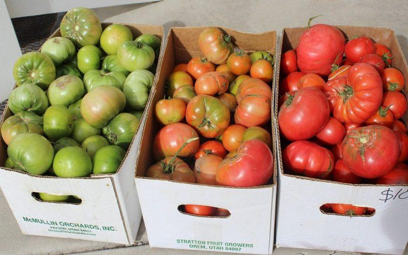 томаты для дозревания, рассортированные по коробкам