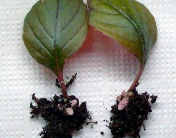 черенки ахименеса из листиков