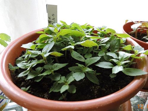 посеянные семена ахименеса