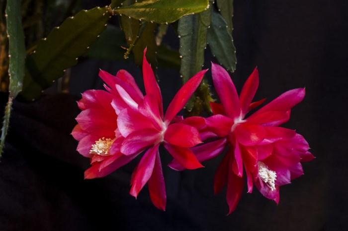 цветущий эпифиллум