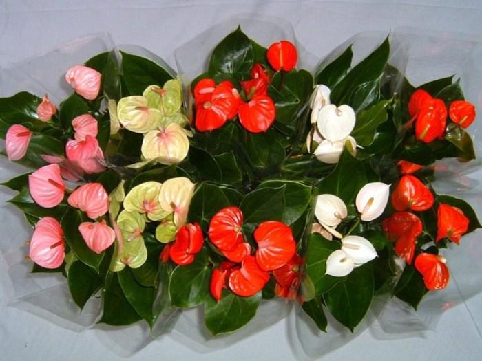 цветущий антуриум