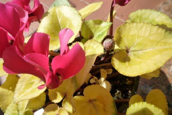 желтеют листья у цикламена во время цветения