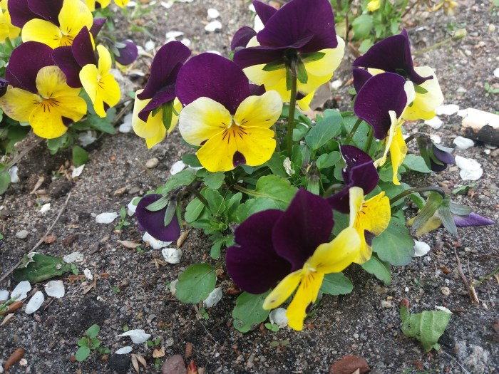 цветущая виола