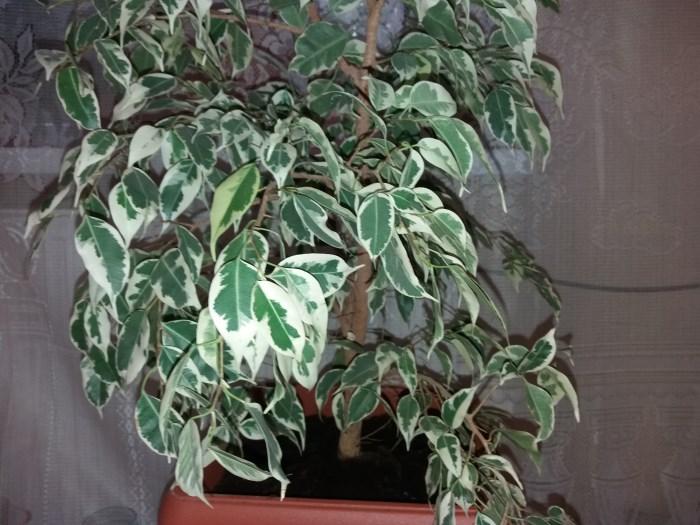 листва фикуса Бенджамина