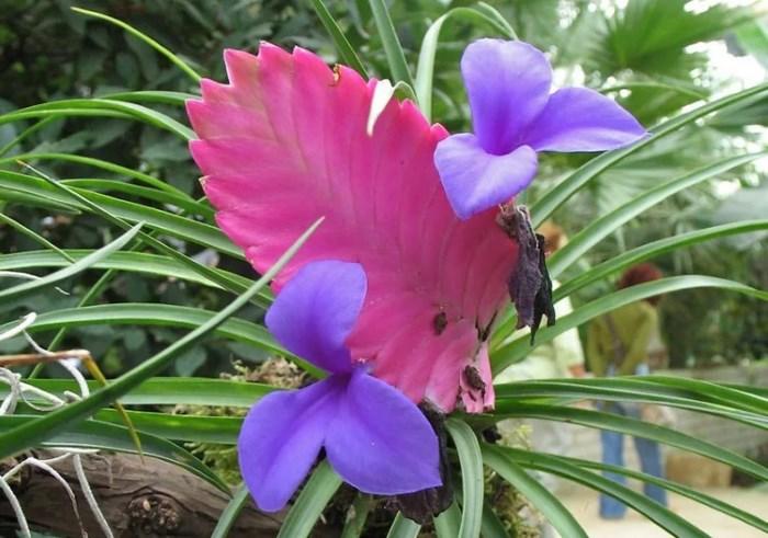 тилландсия синяя